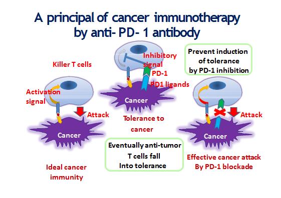 Til venstre ser vi hvordan immunsystemet ideelt burde fungere, målrettet og uhindret. I midten ser vi hvordan kreftcella forsvarer seg mot T-cella med PD-L1-mekanismen, Til høyre ser vi hva osm skjer med Pembro tilstede. Pembro er det røde krysset mellom PD-1 og PD-L1. Kreftcella får ikke hemmet T-cella, denne aktiveres og dreper kreftcella. -Ideelt sett..