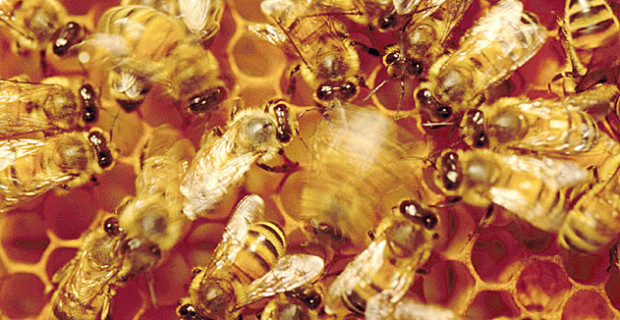 Immunceller deler informasjon på samme måte som bier