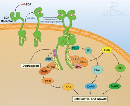 Illustrasjonen er hentet fra www.ebi.ac.uk . Den er ment å gi en ide om hva som foregår når en reseptor blir aktivert i en celle, ikke spesifikt angi virkningsmekanismen for at en EGFR-hemmer demper nervesmerter.